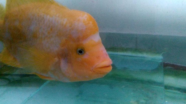 فروش ماهی آکواریوم در منطقه 22 تهران - فروش ماهی پوزه میمونی و ماهی زندانی که هر دو نر می باشند. فروش ماهی آکواریوم فروش ماهی آکواریوم در منطقه ۲۲