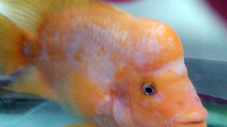 ماهی پوزه میمونی نر فروش ماهی آکواریوم فروش ماهی آکواریوم در منطقه ۲۲