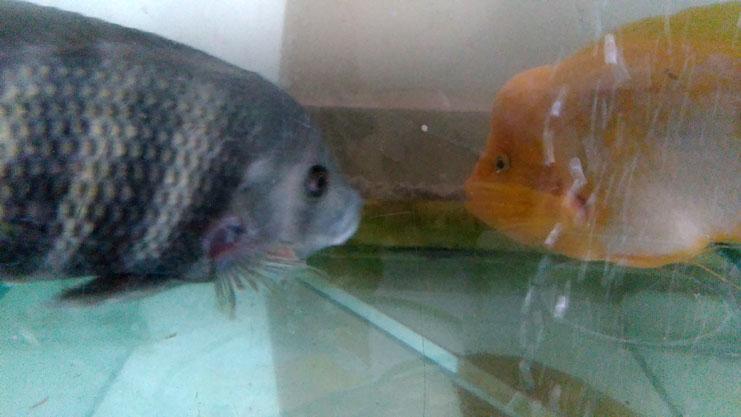 فروش ماهی آکواریومی سیچیلاید زندانی - نر - اندازه 35-40 سانتی متر فروش ماهی آکواریوم فروش ماهی آکواریوم در منطقه ۲۲